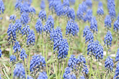 Blauer Frühling des selektiven Fokus blüht Traubenhyazinthe im Garten Lizenzfreie Stockfotografie