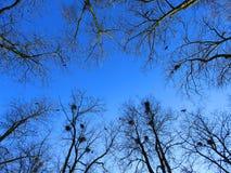 Blauer Frühlingshimmel unter bloßen Niederlassungen der Bäume Stockfoto