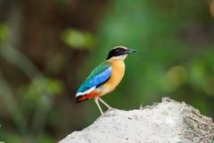 Blauer geflügelter Pitta-Vogel [Pitta-granatina] Stockbilder