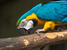 Blauer gelber Keilschwanzsittichvogel-Nahaufnahmekopf schoss auf ein Vogelschutzgebiet in Kolkata, Indien Lizenzfreie Stockfotografie