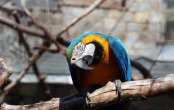 Blauer gelber Macaw Lizenzfreie Stockbilder