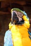 Blauer gelber Macaw Stockfoto