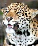Blauer gemusterter Jaguar Stockfotos