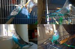 Blauer gewellter Papagei Lizenzfreie Stockfotografie
