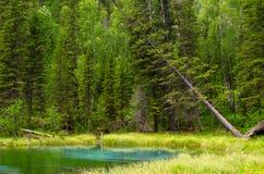 Blauer Geysirsee in Altai-Bergen mit schönem grünem Wald Lizenzfreies Stockfoto