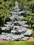 Blauer gezierter Baum Stockbild