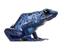 Blauer Gift-Pfeilfrosch gegen weißen Hintergrund Stockbild