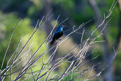 Blauer glänzender gemusterter Vogel Stockfotografie