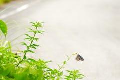 Blauer glasiger Tigerschmetterling gehockt auf einem Unkraut, Zamami, Okinawa stockfotografie