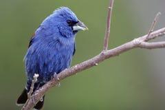 Blauer Grosbeak, Guiraca caerulea Lizenzfreie Stockfotos