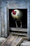 Blauer Hahn oder Hahn, die in einem Hühnerstalltüreinstieg stehen Lizenzfreie Stockfotos