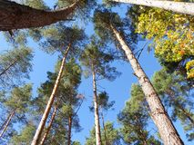 Blauer Himmel über Baumkronen Stockfoto