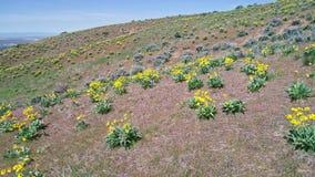 Blauer Himmel über gelber Frühlingsblüte auf Blütenpflanzen in der Natur stock video