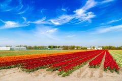 Blauer Himmel über Mehrfarbentulpenfeldern nähern sich Dorf von Lisse, Holland Lizenzfreie Stockfotos