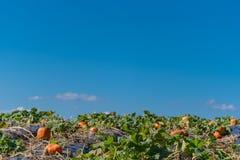 Blauer Himmel über Sunny Pumpkin Patch Lizenzfreie Stockfotos