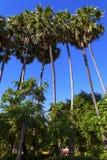 Blauer Himmel der Arengapalme Stockbild