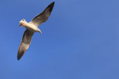Blauer Himmel der Fliegenvögel (Seemöwe) wieder Lizenzfreie Stockfotografie