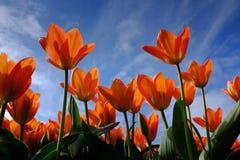 Blauer Himmel der orange Tulpen Stockbild