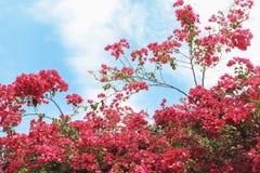Blauer Himmel der rosa Bouganvillablume Stockfoto