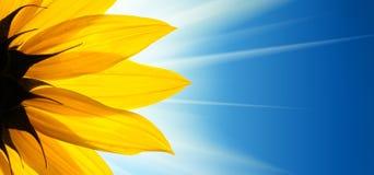 Blauer Himmel der Sonnenblume Stockfoto