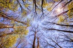 Blauer Himmel der Waldbaumaste Stockfotografie