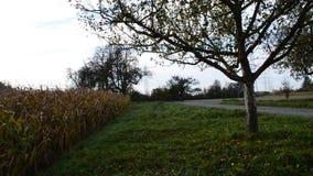 Blauer Himmel des Getreidefelds und sonniger Tag stock video