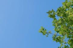 Blauer Himmel des grünen Ahornblatthintergrundes Lizenzfreie Stockfotos