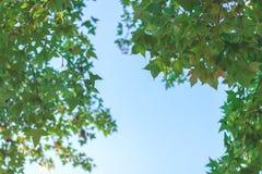 Blauer Himmel des grünen Ahornblatthintergrundes Stockfoto