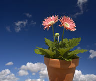 Blauer Himmel des rosafarbenen Gerbera Lizenzfreies Stockfoto