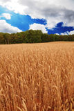 Blauer Himmel des Weizenfeldes Lizenzfreies Stockbild