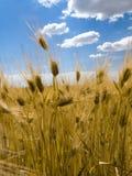Blauer Himmel des Weizenfeldes Stockfotos