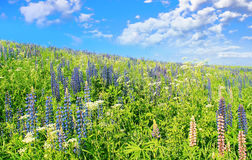 Blauer Himmel, dunkelblaue Blumen. Lizenzfreies Stockbild