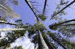 Blauer Himmel durch die Überdachung von hohen Bäumen Lizenzfreies Stockfoto