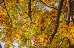 Blauer Himmel durch die Blätter der gelben Birke Lizenzfreie Stockfotos
