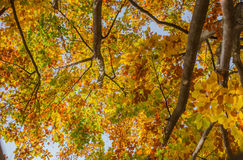 Blauer Himmel durch die Blätter der gelben Birke Stockfoto