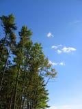 Blauer Himmel, hohe Kiefern, Wolken Stockfotografie