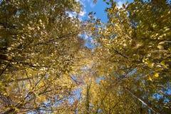 blauer Himmel mit gelbem Baum und Berg in Daocheng, SiChuna, Chi Stockfoto