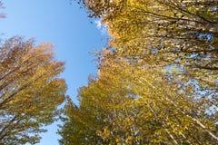 blauer Himmel mit gelbem Baum und Berg in Daocheng, SiChuna, Chi Stockbild