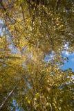 blauer Himmel mit gelbem Baum und Berg in Daocheng, SiChuna, Chi Lizenzfreie Stockfotografie