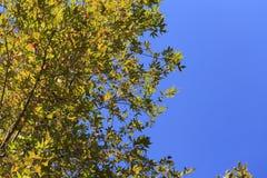 Blauer Himmel mit grünen Blättern des Platanenbaumhintergrundes Lizenzfreie Stockfotografie
