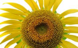 Blauer Himmel mit Sonnenblume Lizenzfreie Stockfotografie