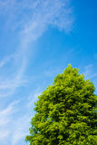 Blauer Himmel und Baum von Metasequoia Stockfotografie