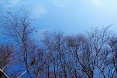 Blauer Himmel und dunkle Baumaste im Winter in Hobart Tasmania Lizenzfreie Stockbilder