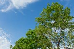 Blauer Himmel und großer Baum Lizenzfreies Stockbild