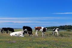 Blauer Himmel und Kühe Stockfotos