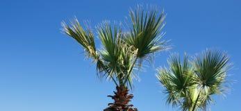 Blauer Himmel und Palme. Stockfotografie