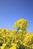 Blauer Himmel und Raps stellt, canola Getreide auf Stockbild