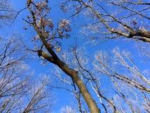 Blauer Himmel und Treetops Stockfotos