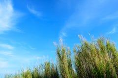 Blauer Himmel und weißer Wolkenhintergrund mit beweglichen Gräsern in der Bottom-upansicht Stockbilder
