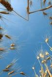 Blauer Himmel und Weizen Lizenzfreie Stockfotografie